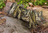 Tiger Swallowtail Butterflies; Papilio glaucus; feeding on otter scat; PA, Pine Creek