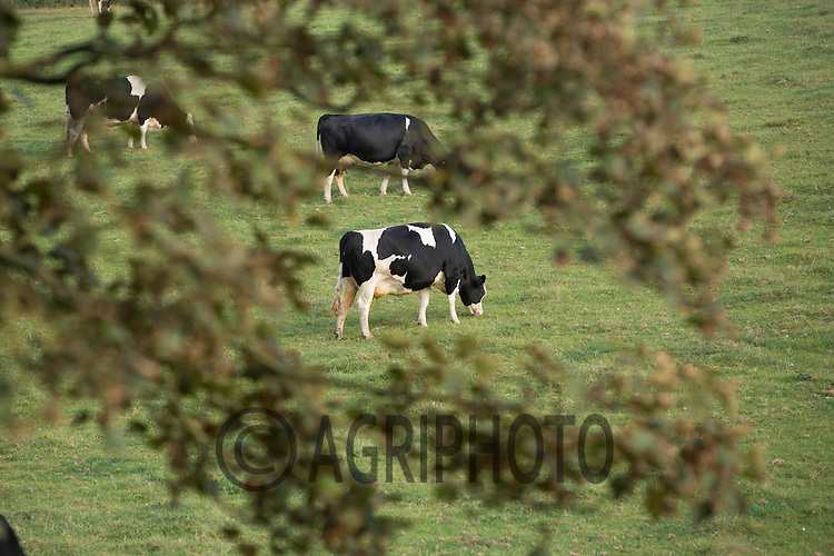 Dairy cows out at grass<br /> Picture Tim Scrivener 07850 303986