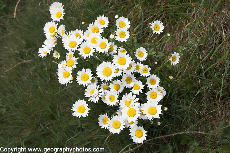 Looking down on daisies growing in a clump, UK