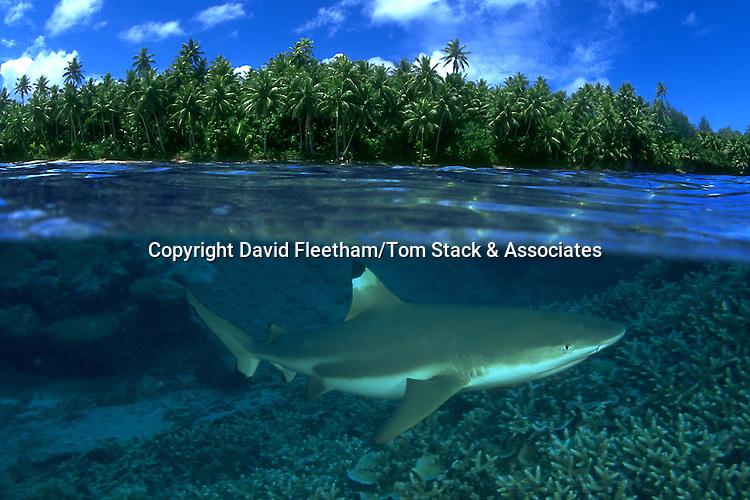 Blacktip reef sharks, Carcharhinus melanopterus