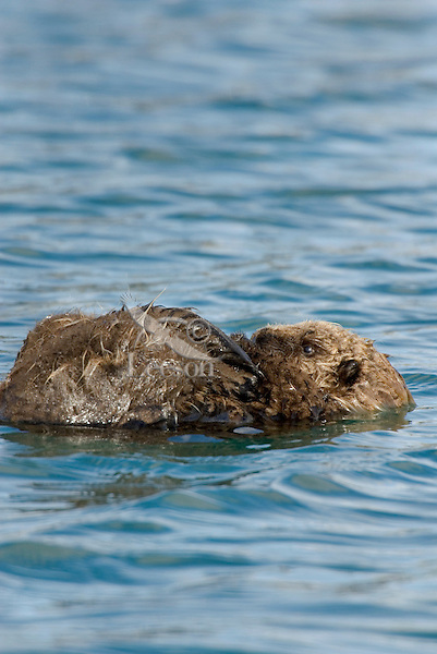 Sea Otter (Enhydra lutris) pup rests on the surface while mom dives for food.