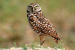 Burrowing Owl, Athene cunicularia, by nest, Florida, .USA....