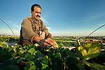 Mohamed Abu Khosah grows strawberries on his farm in Beit Lahia in the Gaza strip. After several years of blocking strawberry exports, in late 2010 Israel began permitting limited exports of strawberries from the Gaza strip, destined for European markets..