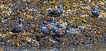 USA, Alaska, Glacier Bay National Park, harlequin ducks (Histrionicus histrionicus)