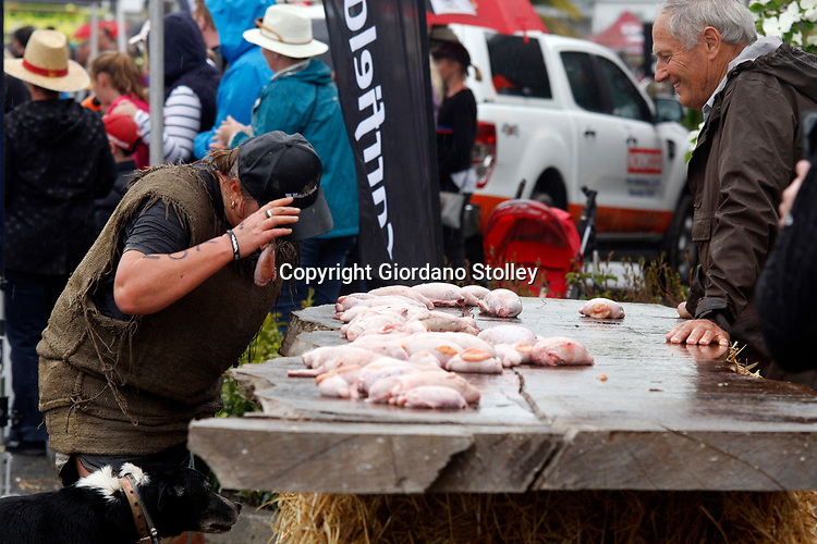 Hunterville, New Zealand - October 27, 2018 - A Shepherd grabs a set of bull's testicles with her mouth before having to carry them 10 metres and dropping them in a bucket during the annual Shemozzle obstacle course in which the canines and shepherds tackkle mudslides, ride in wheel barrows and as seen here, carry bulls testicles. The annual Shemozzle race draws thousands every year to this town of less than 500 people. Picture: Giordano Stolley