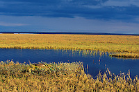 Canada Goose (Branta canadensis) nesting near tundra pond.  Arctic NWR, Alaska.
