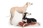 Sloughi Breed Dogs, Pair together, in studio, shot to white background