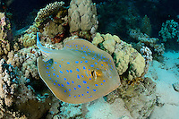 Taeniura lymma, Blaupunktstechrochen, Rochen, Bluespotted Ribbontail Stingray, Ray, Rotes Meer, Ägypten, Red Sea, Egypt