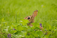 Rabbit Hiding in the Weeds