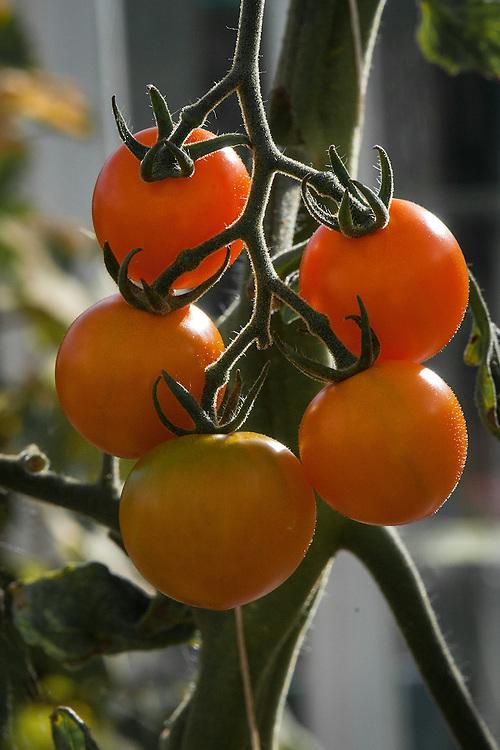 Tomato 'Golden Cherry', late September.