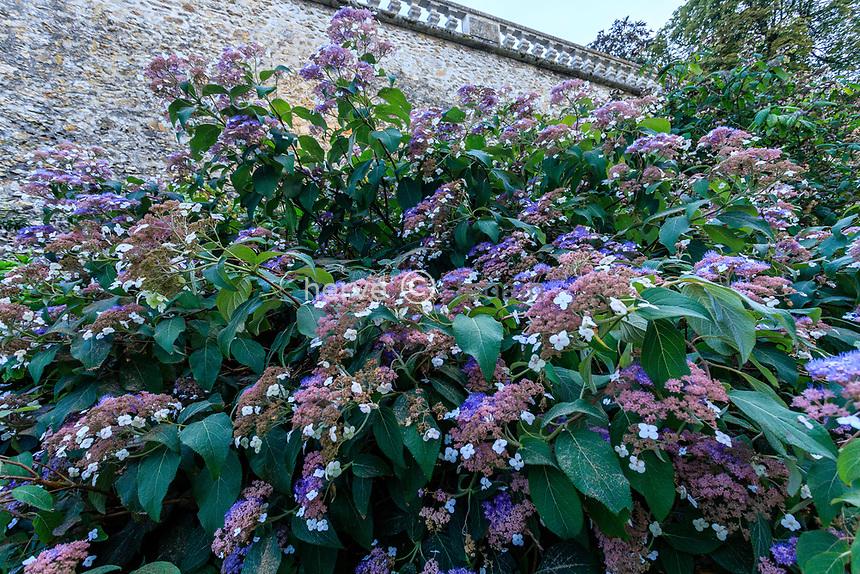 France, Sarthe (72), Le Lude, château et jardins du Lude, dans les douves, hortensia rugueux, Hydrangea aspera