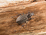 Ground beetle Carabus maeander