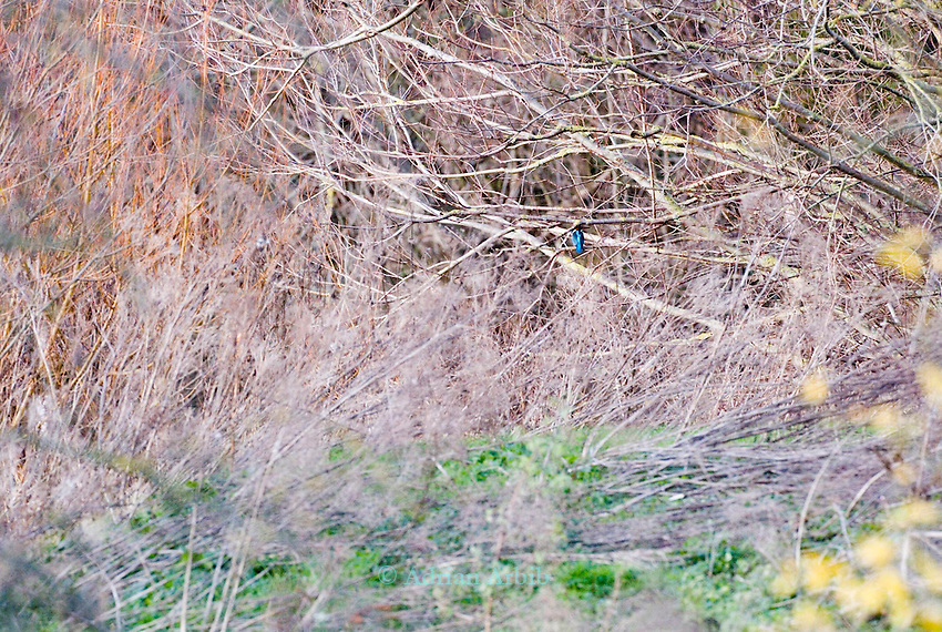 Kingfisher on  Thrupp lake, part of the Radley lakes and  the one threatened to be filled up with fly ash from Didcot power station run by RWE N power<br /> <br /> the taking of this picture resulted in  an injunction placed on the photographer
