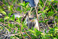 Blue Heron Chicks photographed at Wakodahatchee Wetlands, Delray Beach, Florida.