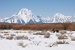 A grizzly walks across the snow-covered sage flats in Grand Teton National Park, Wyoming.