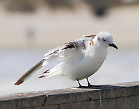 Immaturen black-legged kittiwake