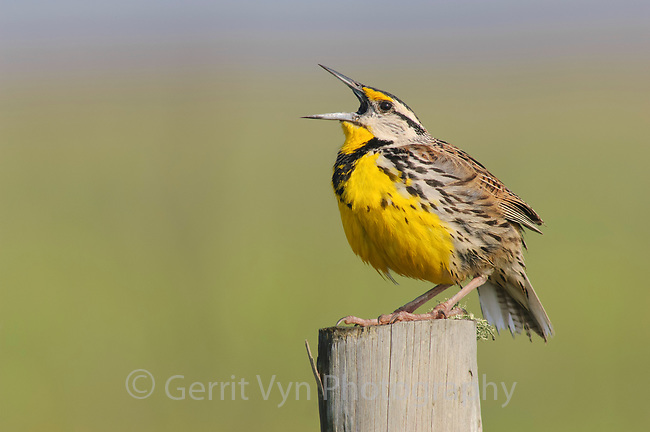 Adult male Eastern Meadowlark (Sturnella magna) singing. Anahuac NWR, Texas. March.