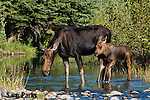 Moose cow and calf in summer. Grand Teton National Park, Wyoming.