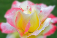 Red and yellow rose. Oregon