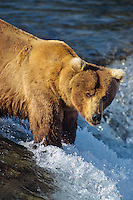 Coastal grizzly or Alaskan brown bear fishing, Brook Falls, Alaska.