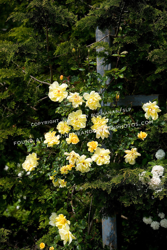"""The subject of old roses sparks many thoughts -- of romance, history, and big, overgrown gardens full of cottage flowers.  However, old roses are fine plants for modern gardens and fit into a variety of situations. They offer color, scent, form and -- in or out of bloom -- they are always worth a good story. Old roses have a past, and they aren't afraid to admit it."".The canes of the rose 'Golden Showers' climb through a Hinoki Cypress and shows dramatically with large, yellow blooms against the deep green cypress needles."