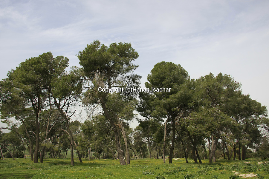 Israel, Jezreel Valley, Pine trees by Tel Shimron