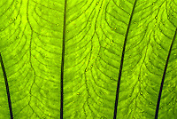 sunlight shining through backlit taro leaf showing water drops and leaf patterns. Taro is a Hawaiian staple food. Its root is cooked and mashed to make poi (always served at local luau), and it has a spiritual - religious importance in Hawaiian cult
