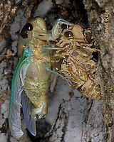0901-0814  Emerging Adult Dog-day Cicada, Tibicen spp.  © David Kuhn/Dwight Kuhn Photography