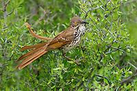 582000055 a wild long-billed thrasher toxostoma longirostre perched in a small tree on dos venadas ranch rio grande valley texas