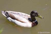 0218-1201  Brown Headed Mallard (Rare Genetic Variation), Anas platyrhynchos  © David Kuhn/Dwight Kuhn Photography