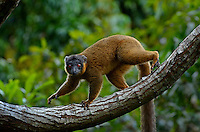 Brown Collard Lemur