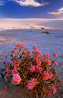 796650042 wild desert sand verbena bloom among the white gypsum sand dunes in sunset light in white sands national monument in new mexico