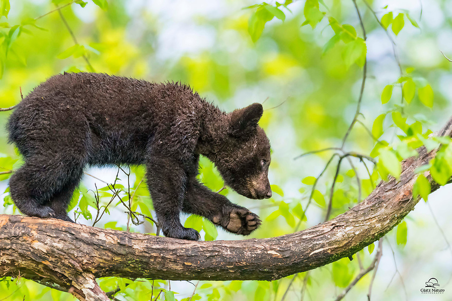 Spring Black Bear (Ursus americanus) cub navigating his safe place high in the tree. Heavy rainfall the night before made for a soggy little cub and a somewhat slippery surface. No worries for the cub, though - he alternated between dozing at the top of this tree and exploring the lower branches, all morning. Very agile little guy, particularly since he was about 60 feet up.<br />