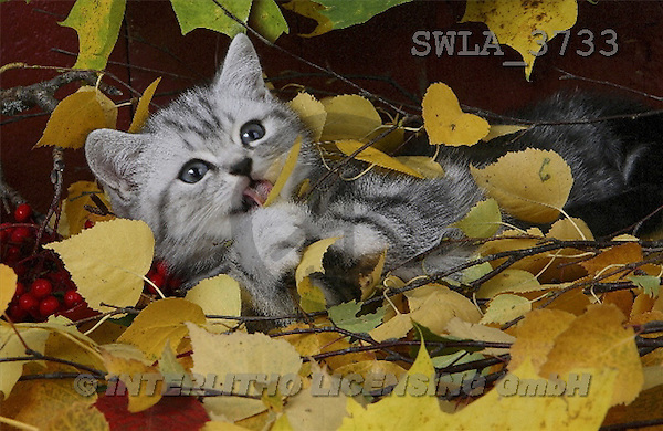Carl, ANIMALS, photos(SWLA3733,#A#) Katzen, gatos