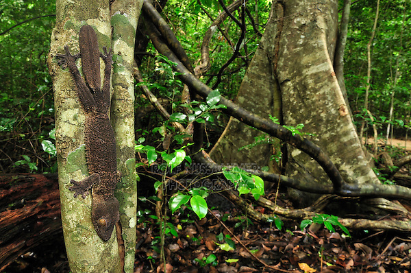 .Henkel's Leaf-tailed Gecko (Uroplatus henkeli), adult, Ankarana National Park, Northern Madagascar
