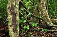 .Henkel's Leaf-tailed Gecko (Uroplatus henkeli), adult, Ankarana National Park, Northern Madagascar