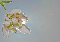 Close up of a Snowdrop (Galanthus nivalis), Chipping, Lancashire.