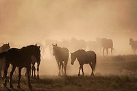 "Sun rises on dust and fog illuminating a herd of mustangs at the Wild Horse Sanctuary.<br /> Dianne Nelson has saved mustangs on a ranch in northern California at the Wild Horse Sanctuary.  ""It was in 1978 that the Wild Horse Sanctuary founders rounded up almost 300 wild horses for the Forest Service in Modoc County, California. Of those 300, 80 were found to be un-adoptable and were scheduled to be destroyed at a government holding facility near Tule Lake, California. The Sanctuary is located near Shingletown, California on 5,000 acres of lush lava rock-strewn mountain meadow and forest land. <br /> Black Butte is to the west and towering Mt. Lassen is to the east. <br /> Their goals:.Increase public awareness of the genetic, biological, and social value of America's wild horses through pack trips on the sanctuary, publications, mass media, and public outreach programs.<br /> Continue to develop a working, replicable model for the proper and responsible management of wild horses in their natural habitat.<br /> Demonstrate that wild horses can co-exist on the open range in ecological balance with many diverse species of wildlife, including black bear, bobcat, mountain lion, wild turkeys, badger, and gray fox.<br /> Collaborate with research projects in order to document the intricate and unique social structure, biology, reversible fertility control, and native intelligence of the wild horse."