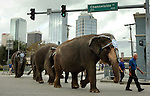 Elephants stopped traffic in Tampa after getting off a train near Union Station and walking to the St Pete Times Forum. Today was the day that Ringling Bros. and Barnum & Baily Circus moved the animals for the 138th Edition of the Greatest Show On Earth.