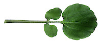 WATERCRESS Rorippa nasturtium-aquaticum (Brassicaceae) Height to 15cm. Usually creeping perennial of shallow streams and ditches. FLOWERS are 4-6mm across with 4 white petals; in terminal heads (May-Oct). FRUITS are narrow pods, 16-18mm long, containing 2 rows of seeds. LEAVES are dark green and pinnately divided; persist through winter. STATUS-Widespread and common; widely cultivated in S England.