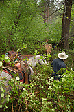 USA, Oregon, Joseph, Todd Nash moving cattle up Steer Creek drainage in the rain, Northeast Oregon