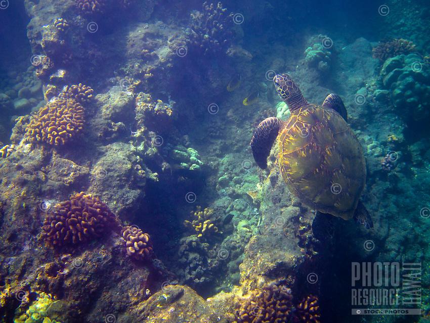 A green sea turtle (or honu) feeding around the reefs at One Palm, Big Island.