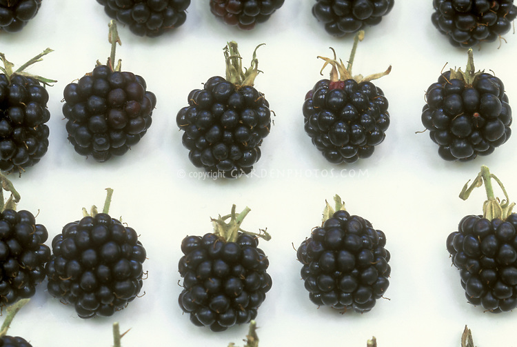 Arapaho Blackberries picked on white plate in rows, fruit berry, Rubus