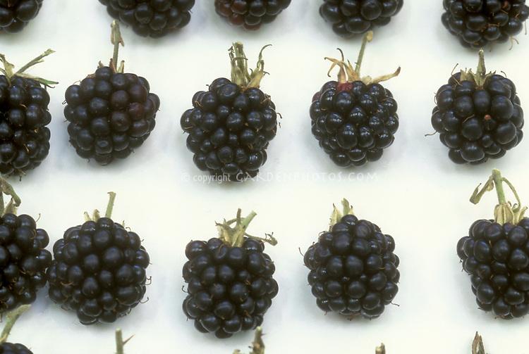 Arapaho Blackberries picked on white plate in rows, fruit berry, Rubus