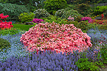 Kubota Garden, Seattle, WA: Blossoming azaleas, rhododendrons, and ajuga in the Tom Kubota Stroll area of the garden