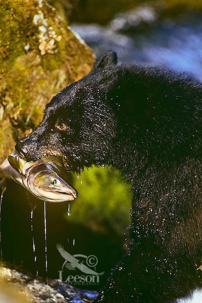 Black bear (Ursus americanus) with salmon it has caught.