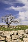Israel, Upper Galilee, Walnut tree (juglans regia ) at Hurvat Beck on Mount Meron