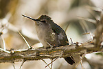 FEMALE ANNA'S HUMMINGBIRD, CALYPTE ANNA, RESTS ON OCOTILLO BRANCH