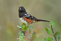 582260009 a wild southern california subspecies of the spotted towhee pipilo maculatus montanus megalonyx perches on a branch in open space protected habitat los angeles county california