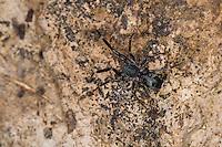 Ameisensackspinne, Ameisen-Sackspinne, Liophrurillus flavitarsis, Phrurolithus flavitarsis, Rindensackspinnen, Ameisensackspinnen, Corinnidae, Phrurolithidae